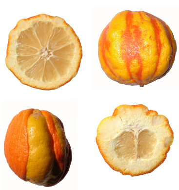 OE Arancio amaro