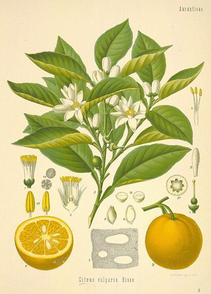 OE Arancio dolce