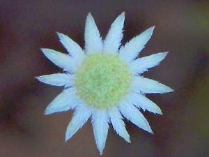 Little flannel flower